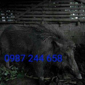 Trang Trại Lợn Rừng Xanh Hòa Bình