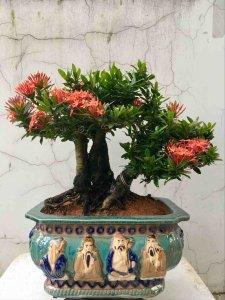 Bonsai Bảo Châu (Mẫu Đơn)