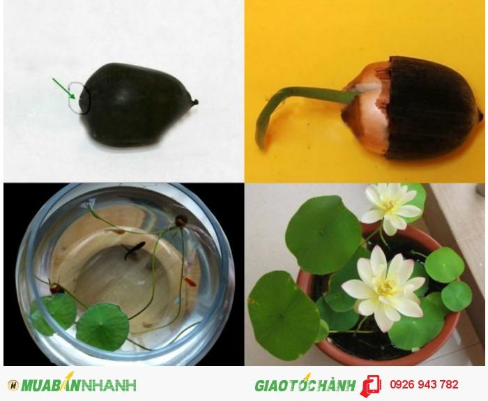Bán buôn – bán lẻ hạt giống sen mini nhật bản4