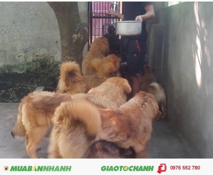Bán Thần Khuyển Ngao Tây Tạng3