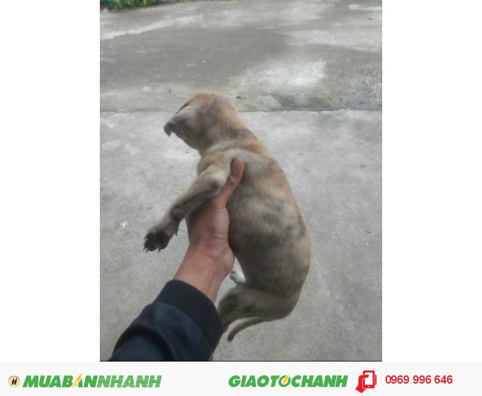Chó Phú Quốc vện cái0