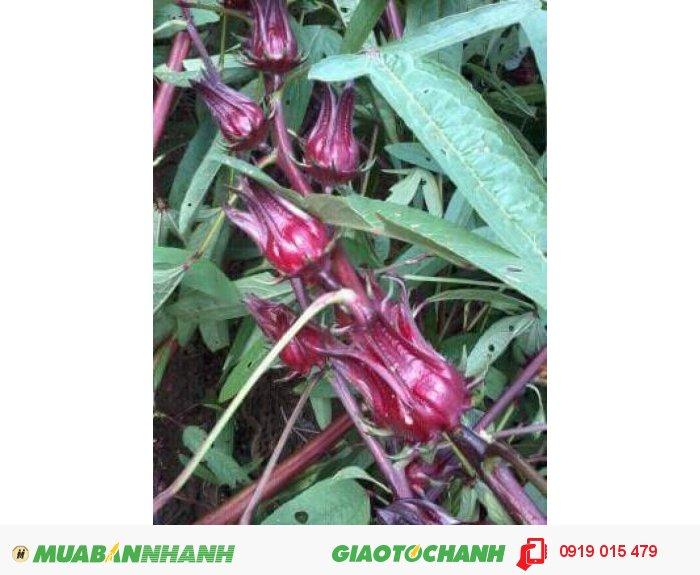 Sỉ atiso đỏ tươi (hibiscus bụp giấm)1