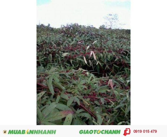 Sỉ atiso đỏ tươi (hibiscus bụp giấm)3