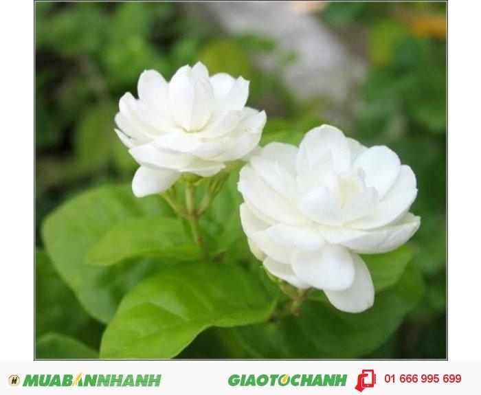 Hơn thế nữa, hương thơm từ loài hoa trắng muốt này giúp cô dâu trở nên tự tin và điềm tĩnh trong ngày trọng đại nhất của đời mình., 3