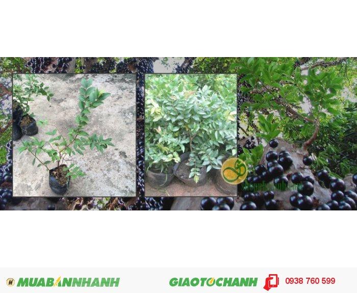 Shopnhaxinh.com cung cấp cây nho thân gỗ (cây giống) 1,5tuổi (cao 30-40cm) & 3 năm tuổi (cao 60-70cm) với kỹ thuật chăm sóc đơn giản, phù hợp với khí hậu Việt Nam có thể trồng trong chậu bonsai hay những khu đất rộng để phát triển thành lâu năm4