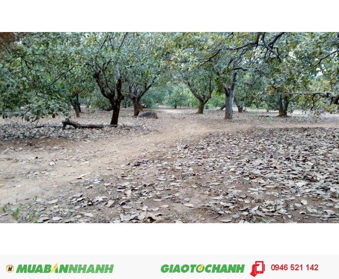 Bán Vườn Điều Đang Thu Hoạch Tại Long Hà Bình Phước