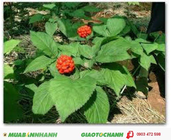 cung cấp hạt giống và củ ( cây ) giống với số lượng lớn0