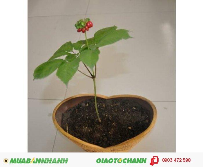 cung cấp hạt giống và củ ( cây ) giống với số lượng lớn2