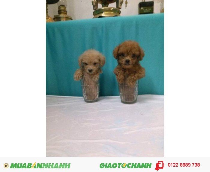 Teacup Poodle Siêu Mini Bỏ Túi, 3 Tháng , Tuổi,nặng 300 Gr (3 Lạng ) , Lông Dài Xoắn , MÀU NÂU ĐỎ , Thuần Chủng 100% Sinh Tại Vn,  ĐÃ CHỦNG NGỪA2
