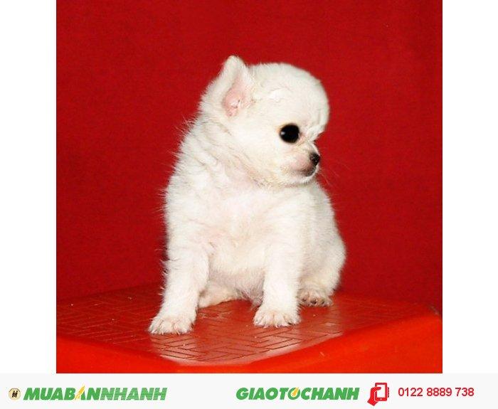 Chihuahua Siêu Mini Bỏ Túi, 3 Tháng Tuổi,nặng 300 Gr (3 Lạng ) , Lông Dài , MÀU TRẮNG TUYẾT , Thuần Chủng 100%,  ĐÃ CHỦNG NGỪA1