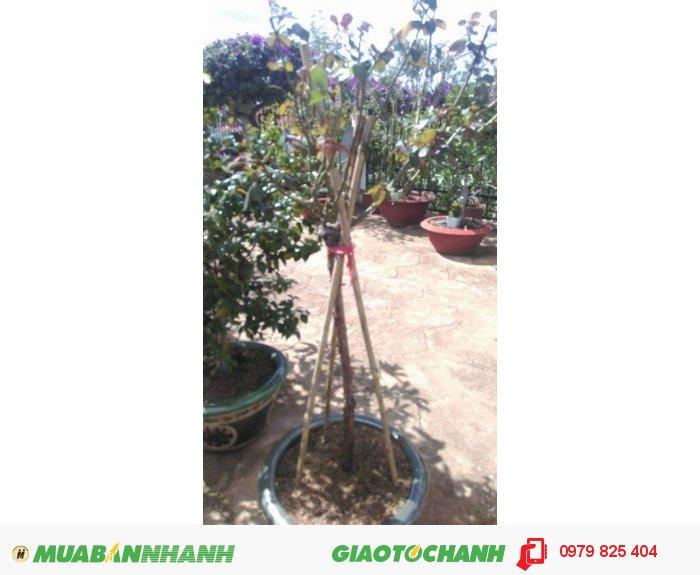 Cây cao 1m2, đường kính thân 3cm. Hoa màu đỏ hồng1