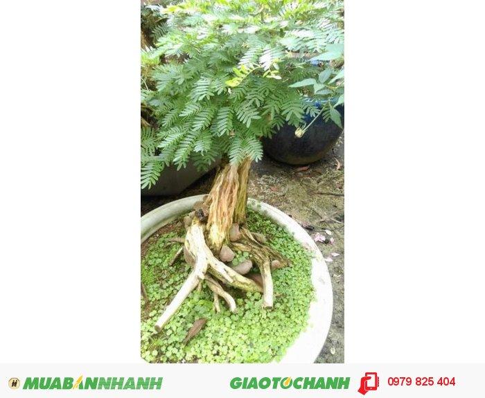 Cây Điệp Lào bonsai