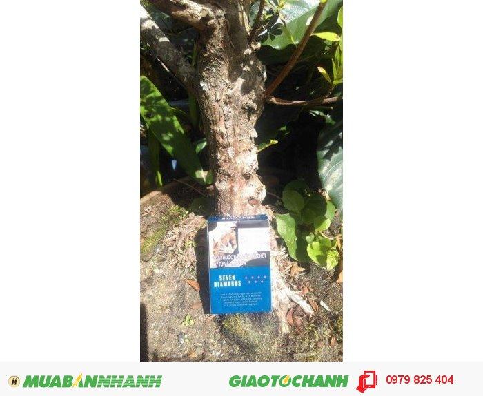 Đỗ quyên bonsai1
