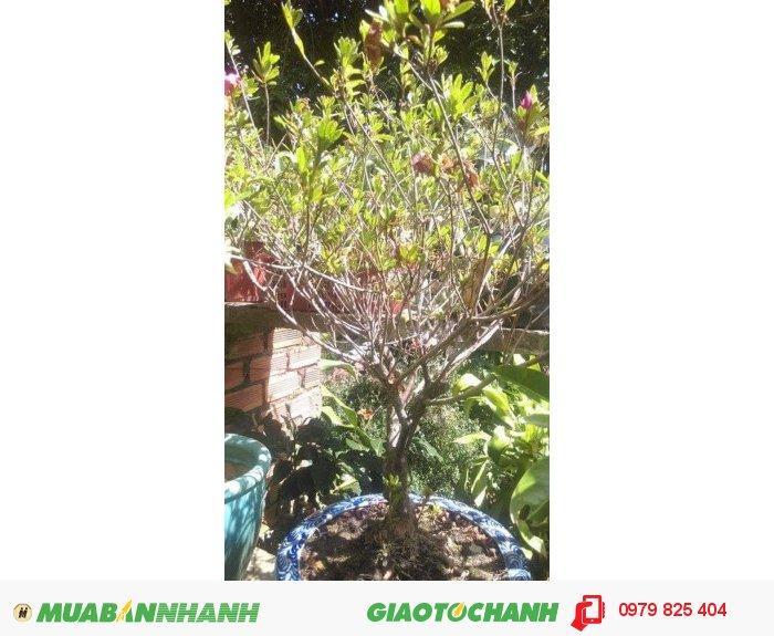 Đỗ quyên bonsai2
