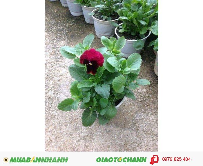 Hoa pansy đà lạt1