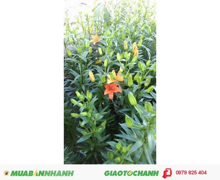 Hoa ly chậu lùn2