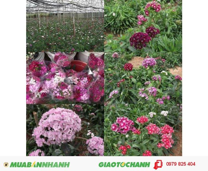 Hoa cẩm chướng Đà Lạt0