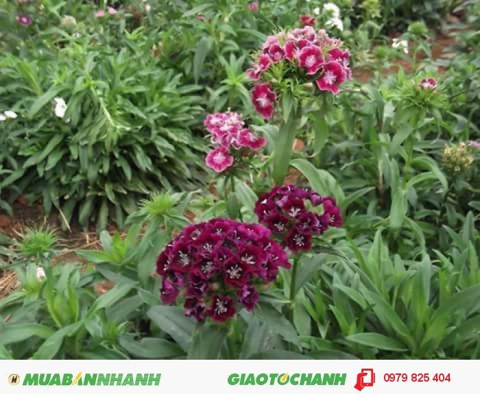 Hoa cẩm chướng Đà Lạt1