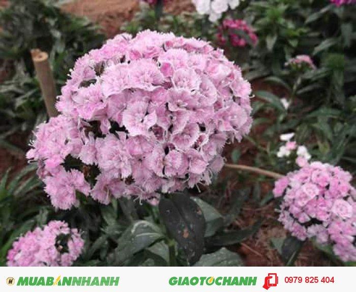 Hoa cẩm chướng Đà Lạt2