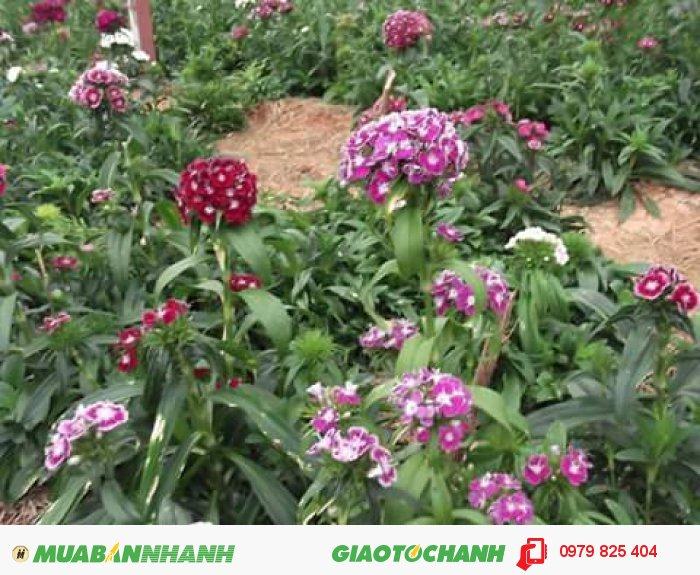 Hoa cẩm chướng Đà Lạt4