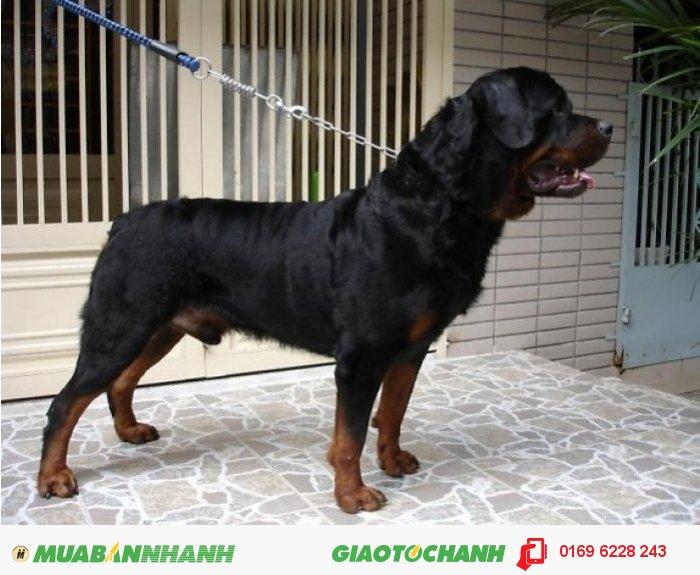 Phối giống chó Rottweiler, dòng thuần chủng0