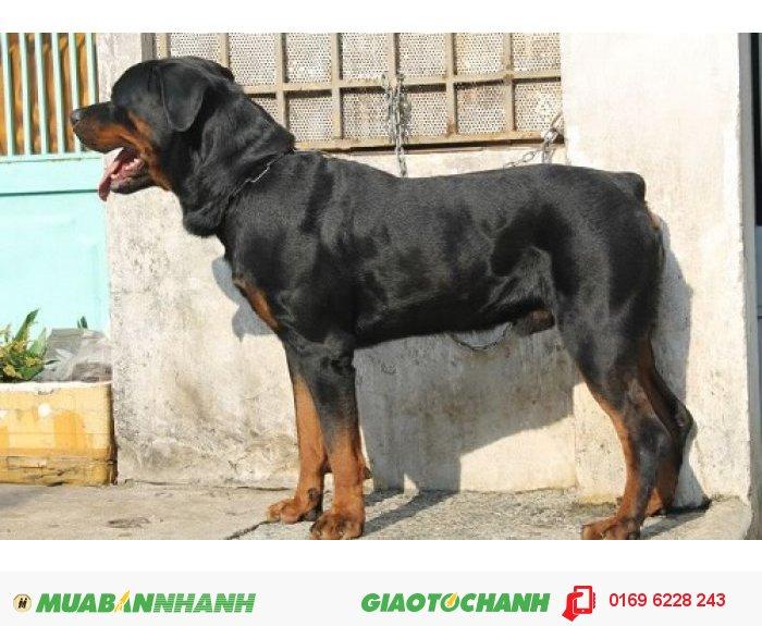 Phối giống chó Rottweiler, dòng thuần chủng1