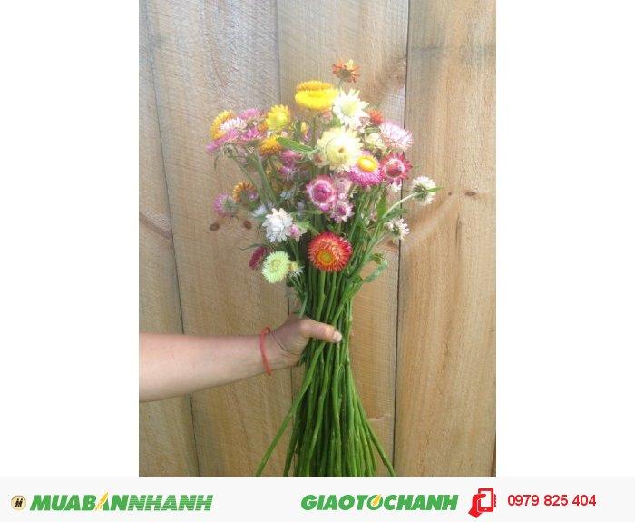 Hoa khô bất tử nguyên cành3