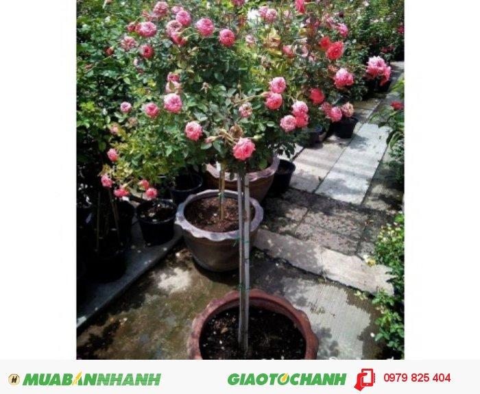 Bán giống Tree rose giá mềm2