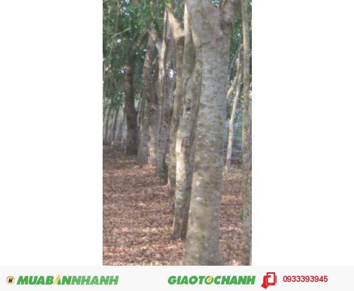 Cần bán gấp 1,3 mẫu đất + hơn 2.000 cây gỗ xà cừ sổ hồng chính chủ tại Ấp 4, Bình Lộc, Long Khánh, Đồng Nai