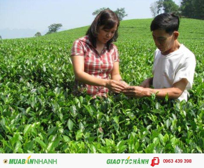 Vùng trà tại làng Bát, Tuyên Quang4