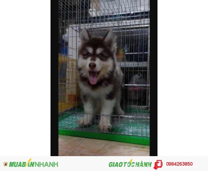 Chó alaska0