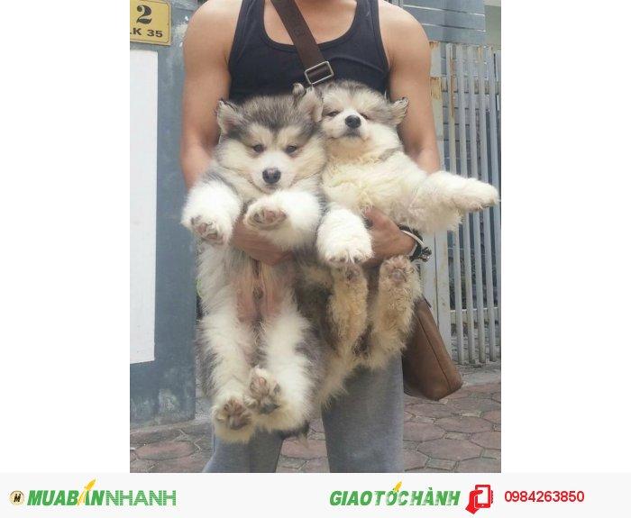 Chó alaska3