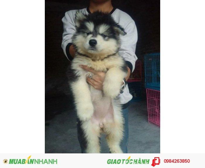 Chó alaska4