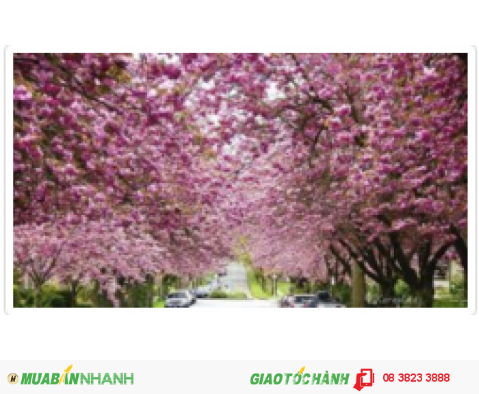 Hãy cùng Air China đến thưởng hoa, ghi dấu ấn cho mùa hoa năm nay tại Washington và Vancouver bạn nhé!