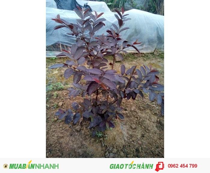 Chuyên cung cấp giống cây Ổi tím (Ổi tím Malaysia)0