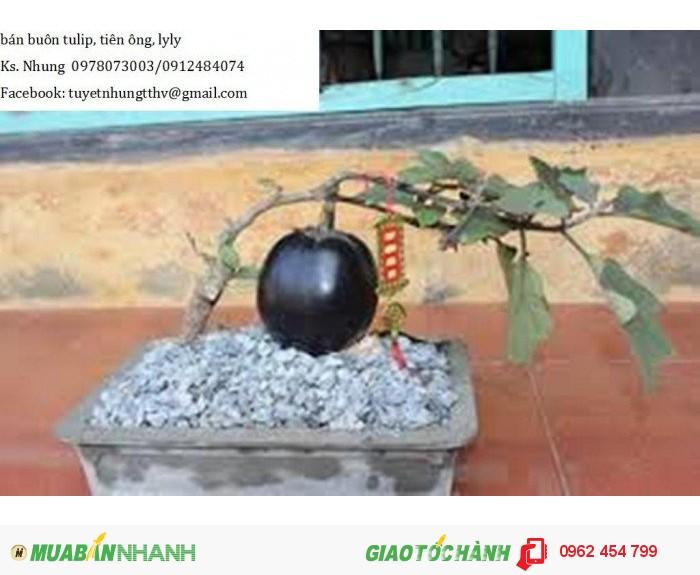 Chuyên cung cấp giống cây Ổi tím (Ổi tím Malaysia)1