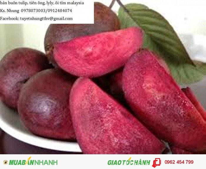 Chuyên cung cấp giống cây Ổi tím (Ổi tím Malaysia)2
