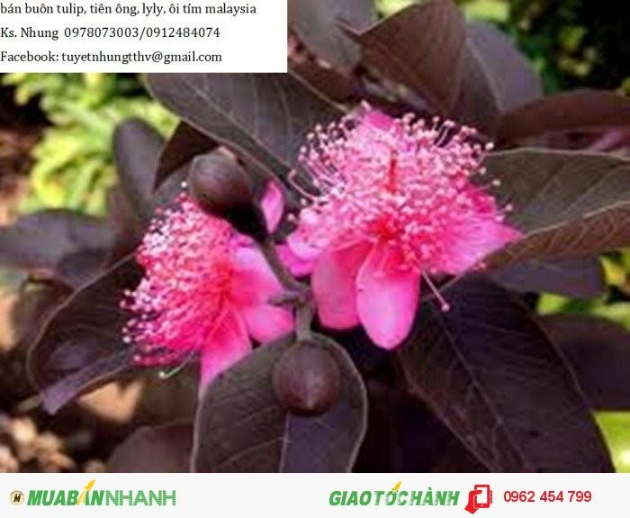 Chuyên cung cấp giống cây Ổi tím (Ổi tím Malaysia)3