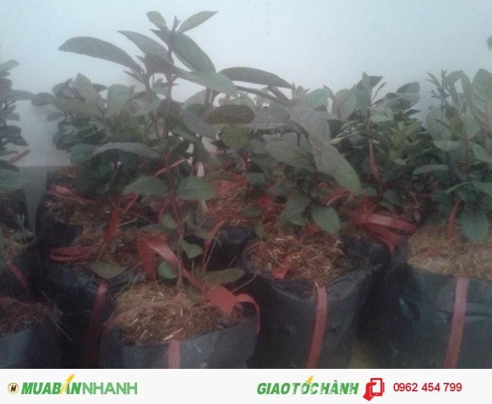 Chuyên cung cấp giống cây Ổi tím (Ổi tím Malaysia)4