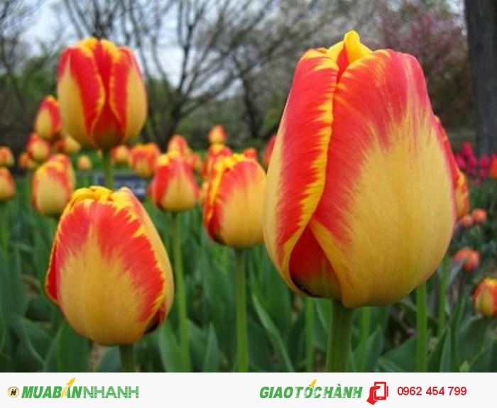 Chuyên Cung Cây Hoa Tuylip Các Màu Số Lượng Lớn