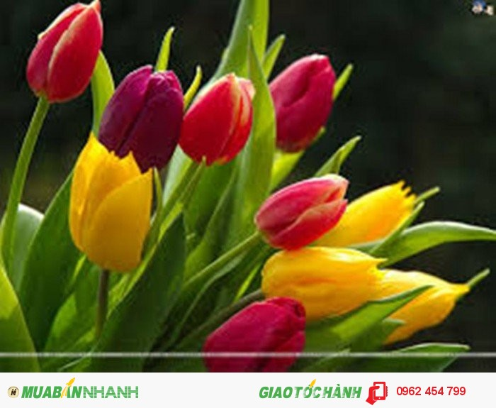 Chuyên Cung Cây Hoa Tuylip Các Màu Số Lượng Lớn1