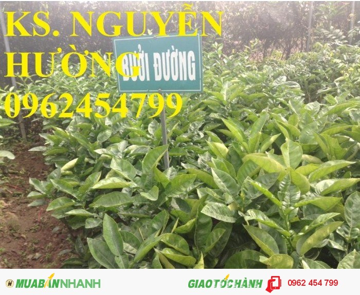 Chuyên cung cấp cây giống bưởi đường Quế Dương2