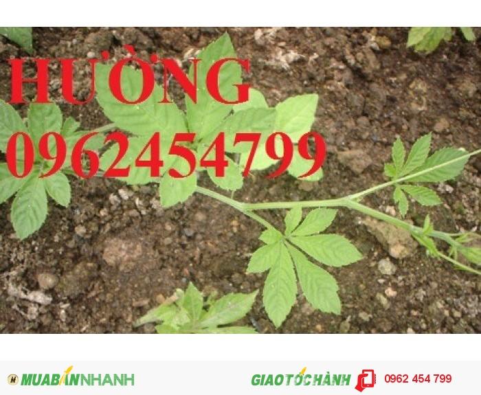 Chuyên cung cấp cây giống Giảo cổ lam0
