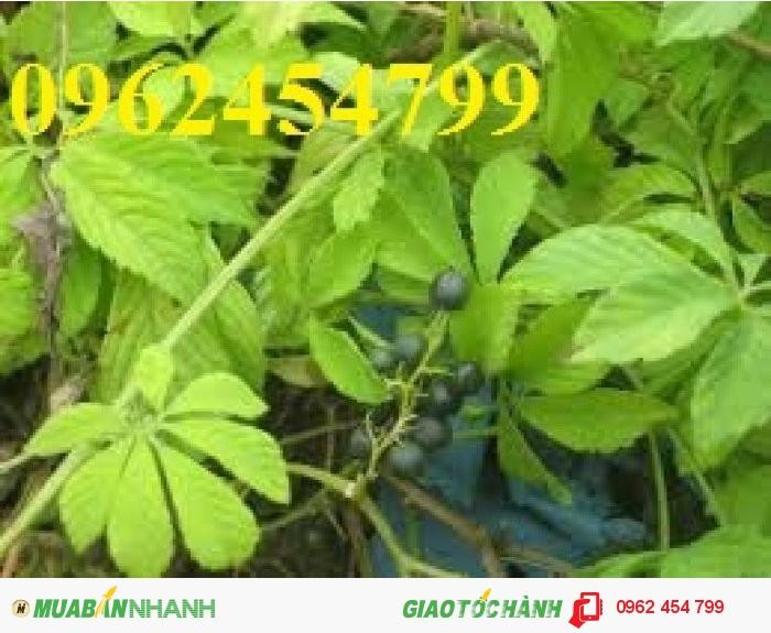 Chuyên cung cấp cây giống Giảo cổ lam1
