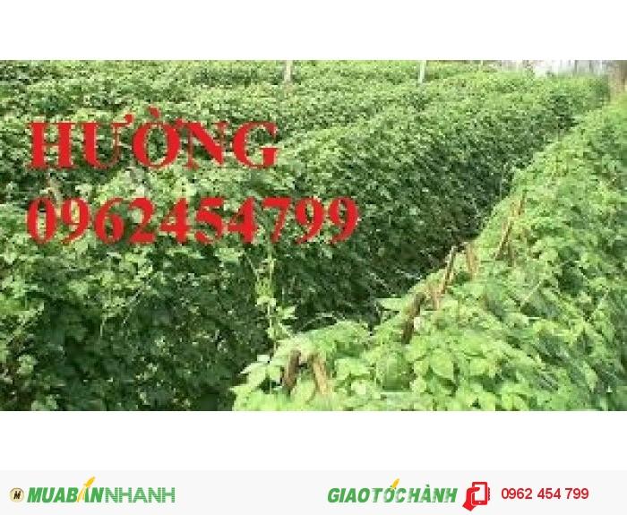 Chuyên cung cấp cây giống Giảo cổ lam2