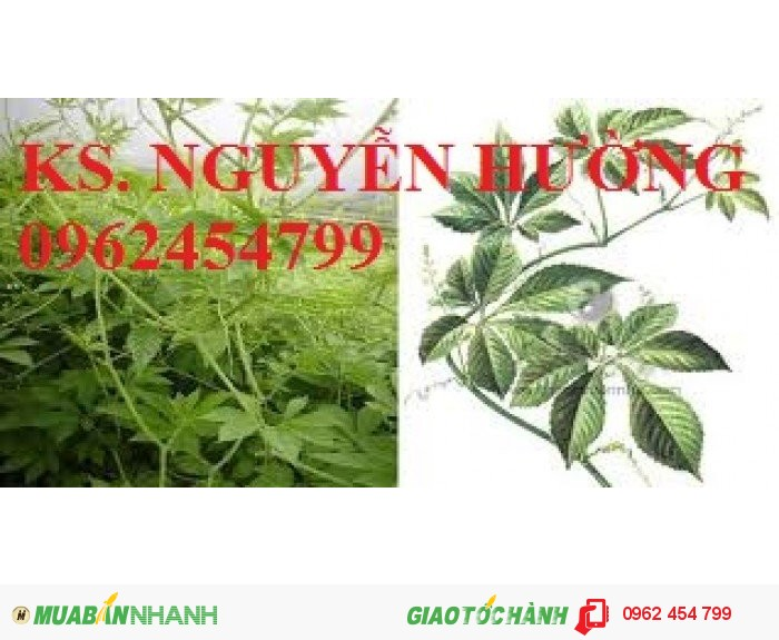 Chuyên cung cấp cây giống Giảo cổ lam3