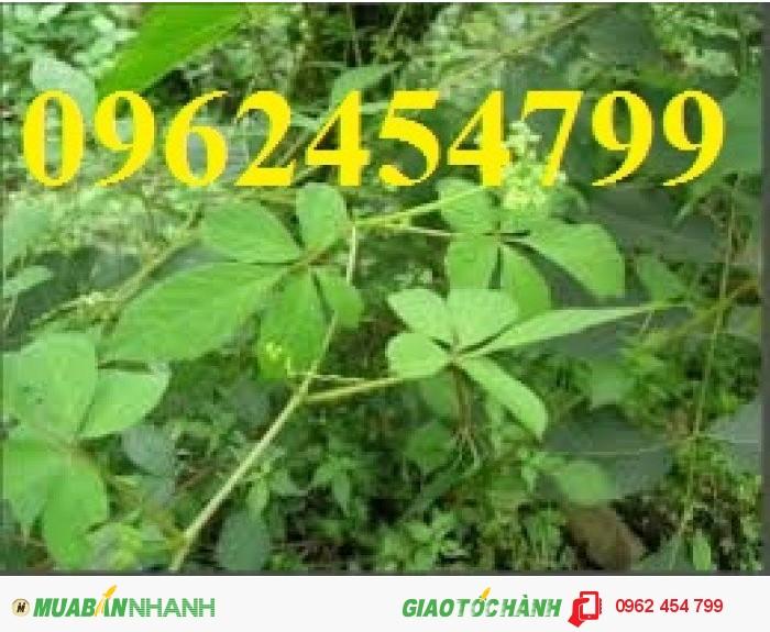 Chuyên cung cấp cây giống Giảo cổ lam4