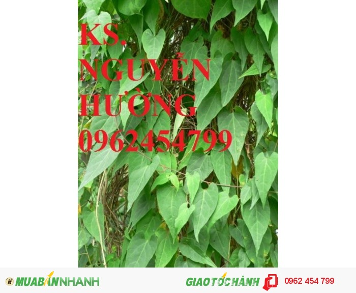 Chuyên cung cấp giống Hà thủ ô đỏ1