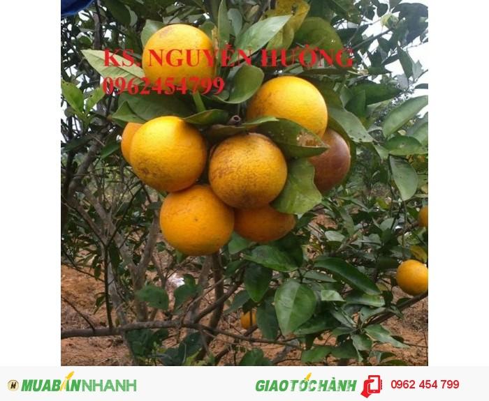 Bán giống cây cam sành gốc cam mật, cam đường canh, cam V2, cam vinh, quýt đường1