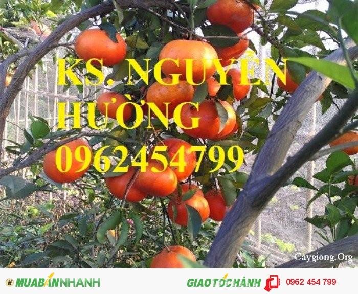 Bán giống cây cam sành gốc cam mật, cam đường canh, cam V2, cam vinh, quýt đường3